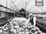 An employee tends to a long line of flowers in one of our earliest greenhouses